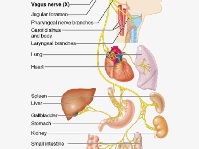a vagus ideg magas vérnyomása a vegetatív vaszkuláris dystonia és a magas vérnyomás közötti különbség