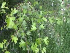 vese hipertónia növény